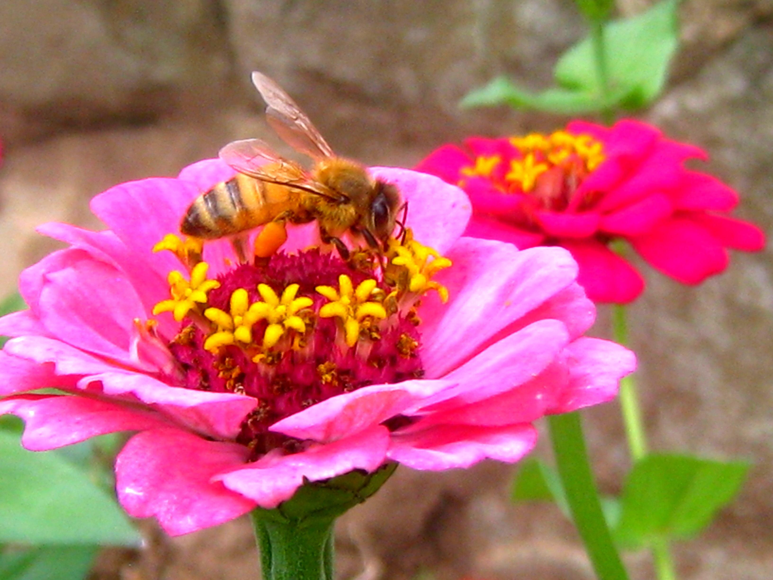 Growing Pollinator Plants – Bee and Butterfly Garden
