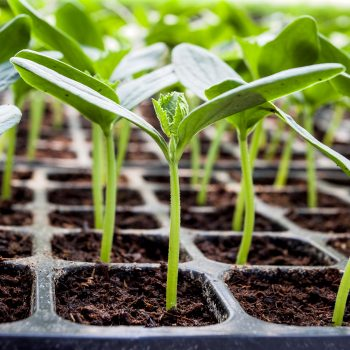 Ready to Plant? Vegetable Transplant Care 101